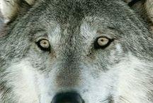 Farkas- Wolf