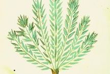 Botanical Drawings - Παλιά σχέδια βοτάνων