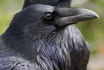 Her Ravens / by Samaya Ryon