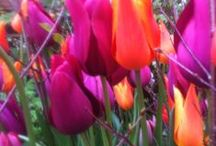 SPRING MOOD BOARD / SPRING BULBS, TULIPS AND ALLIUM AND OTHER PLANTING