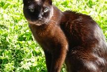 Burmese Cats / Affectionate dog-like, lap cats who retrieve.