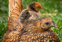 It's Genetic. / Chickens. Nuff said. / by Sarah Corrigan