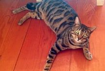 """Bengal Cats / The Bengal is a hybrid breed of domestic feline crossed with an Asian leopard cat, Prionailurus bengalensis. The name """"Bengal cat"""" was derived from the taxonomic name of the Asian leopard cat."""