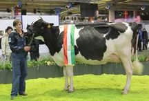 Open Holstein show 2012 / #fieragricolaevents #animalshows 11^ European Open Holstein show (2012 edition), a competitive parade of the best Holstein cows in Europe - one of the most important and highly regarded European genetics meetings among international breeders.