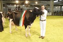 """Dairy Show 2014 / #Fieragricola2014 was home to the 13th European Open Holstein Show (Hall 9). The champion was """"Ashlyn Vray Goldwin"""", the offspring of a joint venture between companies in the avant-garde of genetics in Italy and Spain."""