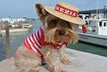 yorkie on a holiday