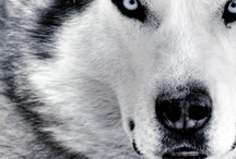 Wolves and Dogs / Whether canine or canis lupus, they have my respect and adoration.  / by Jana Taylor