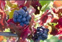 Seasons in the Vineyard / 13th Street Winery in St Catharines Ontario during the seasons