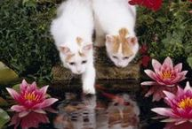 Turkish Van Cats / I was never aware of the Turkish Van breed until my own Manfeecat came into my life. Keen on water and behaviors similar to dogs, Turkish Vans will always give you something to smile about. RIP Manfee!  / by Melinda Hughes-Wert