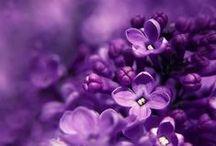 Violet / Violet / Fotographie