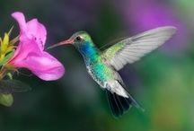 Hummingbird < Kolibri