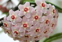 Hoya Wax Flower