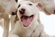 ❤️ Bull terrier ❤️