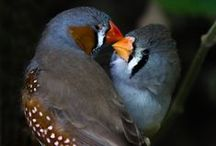 zebra finches / a bunch of cute things <3