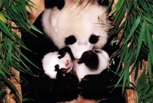 I ♥ Panda / The most beautiful animal on the Earth!