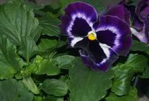 Pansies / Cold tolerant pansies are showing their faces at Esbenshade's Garden Centers!
