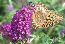 Butterfly Garden / Attract butterflies & hummingbirds to your garden with fragrant flowers, trees & shrubs!