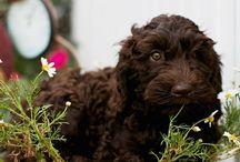 Freonskip, vriendschap, friendship / Alles wat met vriendschap en met honden- speciaal de Australian Labradoodles- te maken heeft.