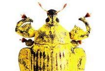 Mounted Beetles / Fotografia de besouros montados. Photography of mounted beetles.