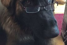 My dog! / He is a Leonberg. Loves to snuggel and very easy to train. He is Momma's Boy!