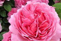 Rosen / Eine schöner als die andere...