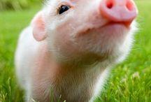 PIGS/PORCS/SCHWEINE / VARKENS