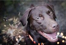 The Chocolate Labrador