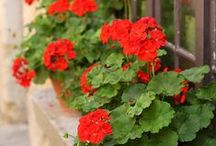 Flowers  °Red Geranium°