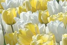 Flowers  °Yellow and White Tulips°