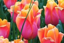 Flowers  °Orange, Pink and Purple Tulips°