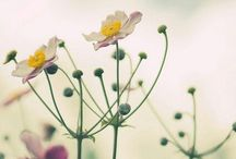 il papavero | flowers