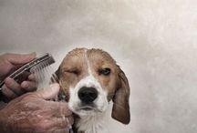il papavero | beagles all my love...