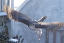 Eurasian Sparrowhawk / Eurasian Sparrowhawk on our terrace, March 2013