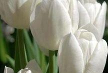 Tulipas e Flores / Uma paixãozinha por flores