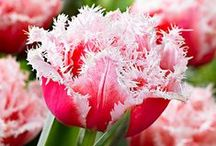 Il colore dei Tulipani