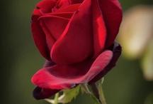 Una rosa è una rosa, è una rosa / Romantica, affascinante, aristocratica, pericolosa: la rosa da secoli è protagonista dell'arte, della letteratura, della musica e in natura regala sempre grandi emozioni!