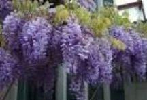 Glycines / La glycine est une plante grimpante et ligneuse, à la floraison généreuse et délicieusement odorante.une classique des jardins à la floraison spectaculaire : des grappes de fleurs de plus de 50 cm de long. Elle décore avec une touche de romantisme pergolas, murs ou grillages. On peut aussi la conduire sur tige pour en faire un sujet isolé au milieu d'une pelouse. / by Mélanie