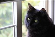 Cats...Black ^._.^ Cats / Everything about Black Cats / by Larry Keahey