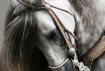 Cheveaux / Breeds of the Horse