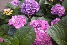 Hydrangeas / Pruning, Tips, Identifying & Pictures