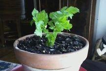 Celery / Celery  / by gardenlady