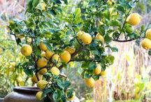 Lemons / by gardenlady