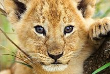 Wild Cats / Beautiful Wild cats. To join this group board, just follow and comment! Enjoy p.s please stay on topic when posting.