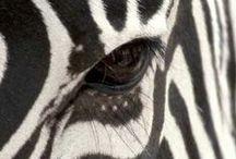 Zebras :)  / Zebra is amazing animal :)  I love zebras stripes :)