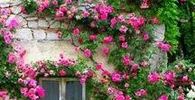 Roses / I love roses, particularly climbing roses.