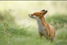 Foxes are awesome