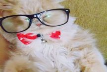 Lord Yorgo Muruno / my lovely cat is a doll face cream Persian. he is the most beautiful cat from my point