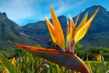 Kirstenbosch / Kirstenbosch National Botanical Garden is world renowned for the beauty and diversity of the Cape flora it displays and for the magnificence of its setting against the eastern slopes of Table Mountain. More: http://www.sa-venues.com/attractionswc/kirstenbosch.htm