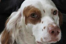 English Setter Rescue and Adoption / Images of English Setters recently rescued and needing foster or forever homes. To adopt or foster a dog, check image descriptions for image source and contact information.