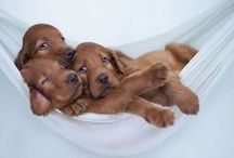 For The Love Of Setters / Images of Irish, English, Gordon, and Irish Red and White Setters.